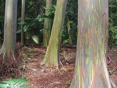 Радуга эвкалиптов в Мауи, Гавайи.jpg