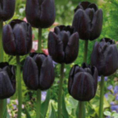 черные тюльпаны.jpg