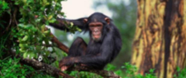 шимпанзе.jpg