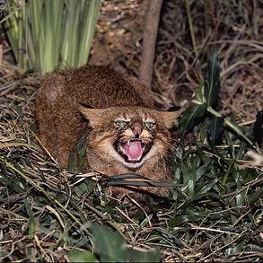 пампасская кошка.jpg