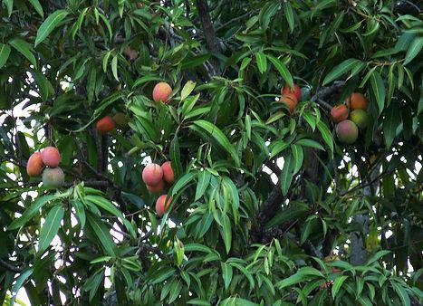 манго.jpg