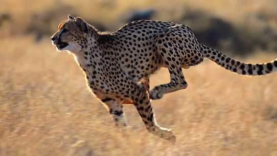 гепард на охоте.jpg