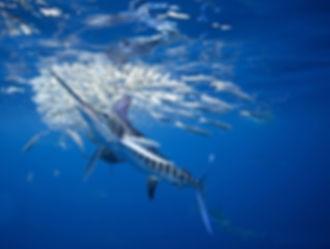 меч-рыба1.jpg