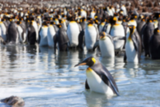 императорские пингвины 1.jpg
