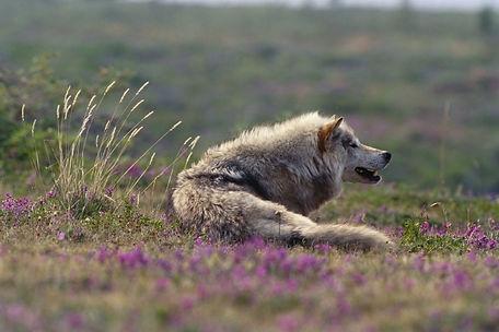 волк в тундре.jpg