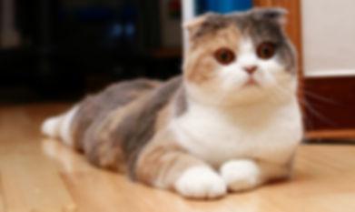 шотландская вислоухая кошка.jpg