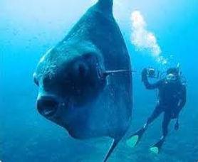 рыба-луна .jpg