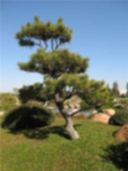 японская сосна.jpg