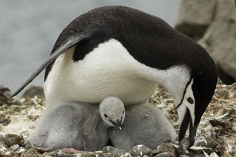 антарктический пингвин.jpeg