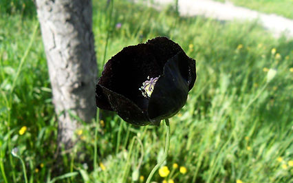 черный мак.jpg