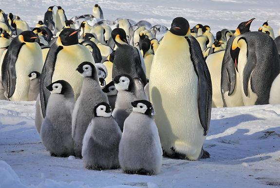 императорские пингвины.jpg