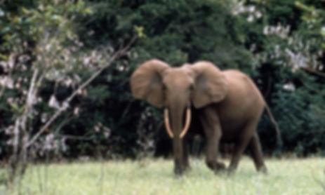 африканский слон.jpg