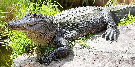 крокодил.jpg