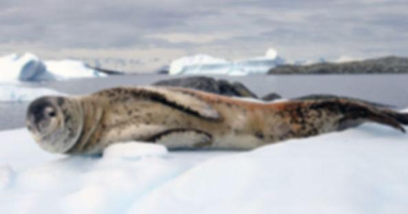 морской леопард.jpg