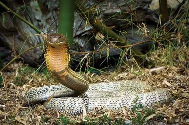 indiiskaya cobra.jpg