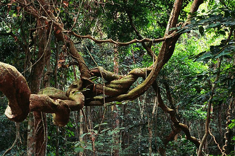 лианы Африки.jpg