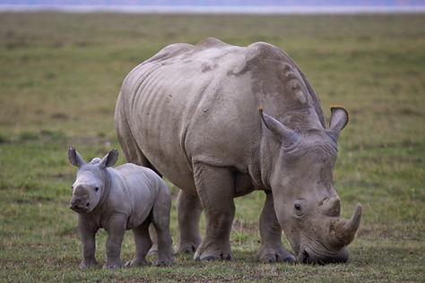 носорог с детенышем.jpg