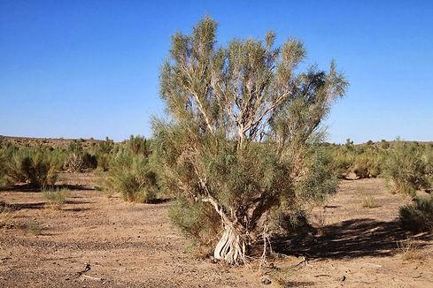 саксаул - единственные деревья в полупус