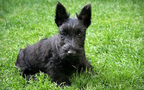 Шотландский терьер-отличная собака,.jpg
