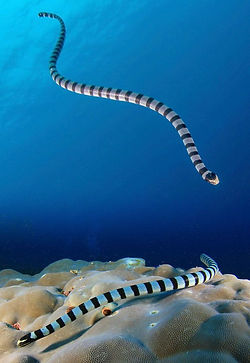 morscoi zmei belchera.jpg