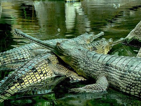 крокодил гавиал.jpg