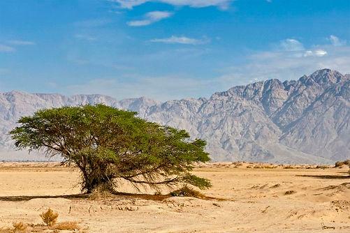 песчаная акация1.jpg