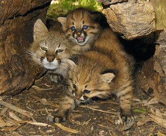 убежище пампасской кошки.png