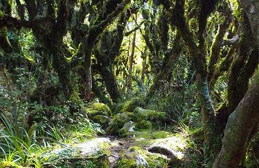 леса новой зеландии.jpg