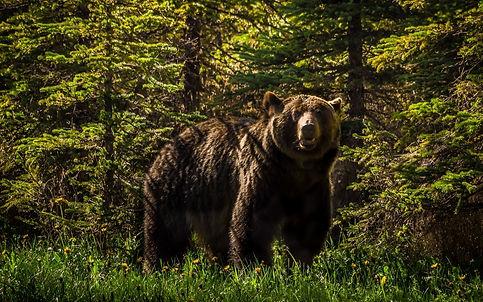 медведь- хозяин тайги.jpg