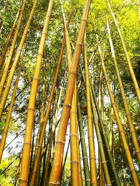 бамбук.jpeg