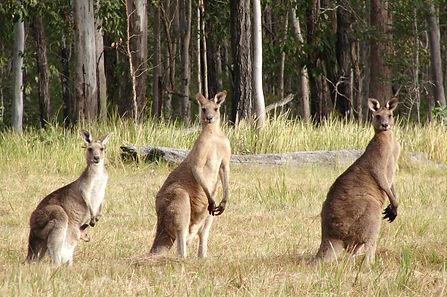 Восточный серый кенгуру.jpg