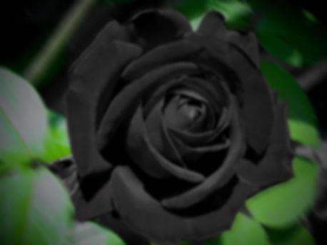 черная роза.jpg
