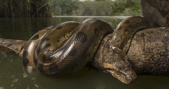 анаконда Амазонки.jpg