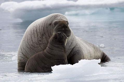 морж на льдине.jpg