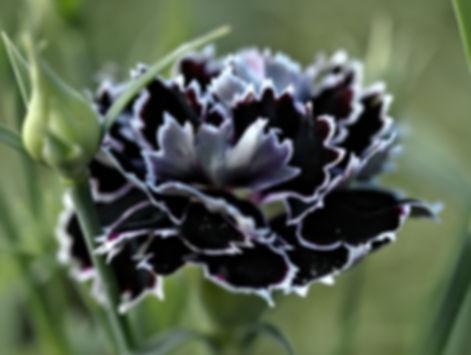 черная турецкая гвоздика.jpg