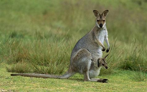 Восточный серый кенгуру1.jpg