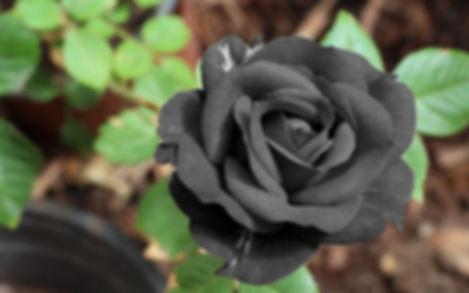 черная роза1.jpg