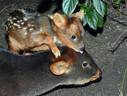 Пуду - самый маленький в мире олень..jpg