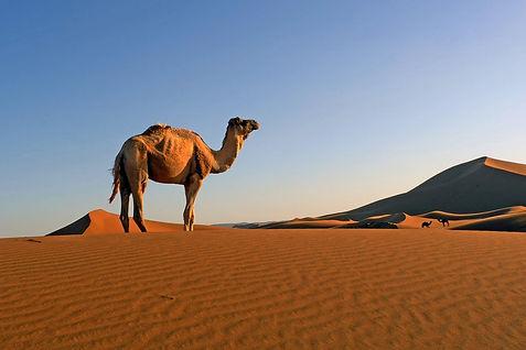 верблюд в Сахаре.jpg