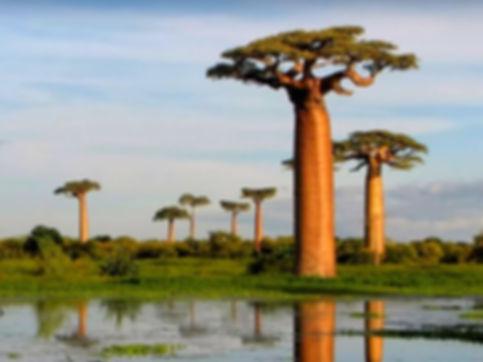 баобаб Африки.jpg