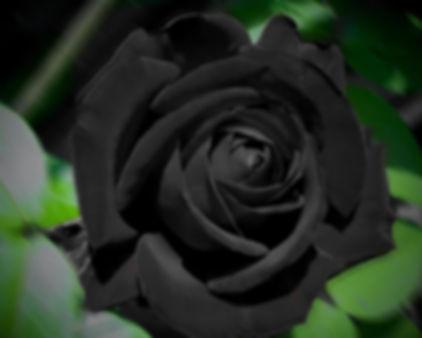 Черная роза3.jpg