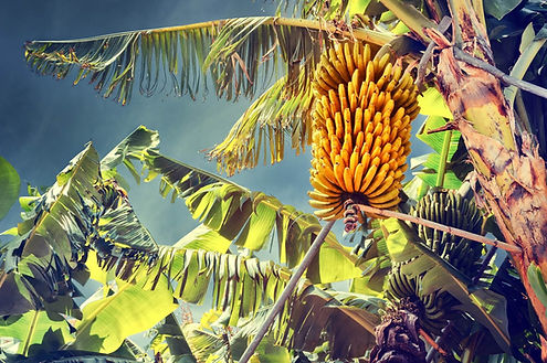банановое дерево.jpg