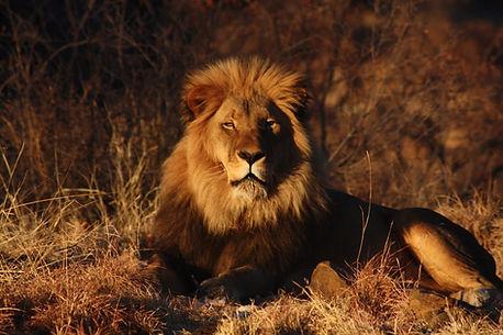 лев -царь зверей.jpg