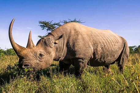 носорог.jpg