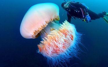 медуза цианея.jpg