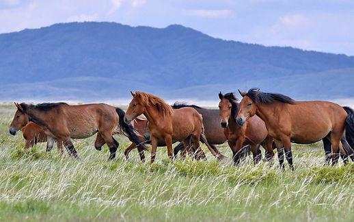 дикие лошади.jpg