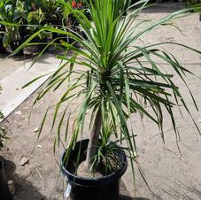 Pony Tail Palm