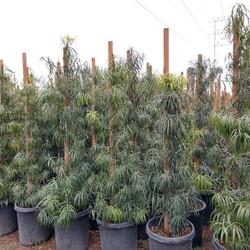 Fern Cloud Pine