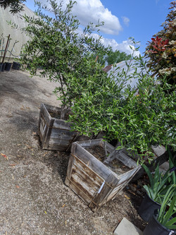 Fruitless Olive Multi-Trunk