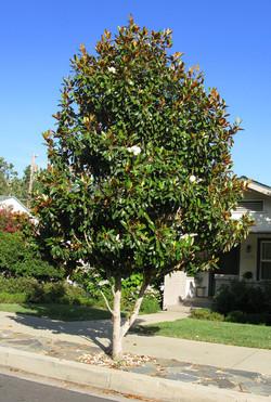"""Magnolia """"Little Gem"""""""